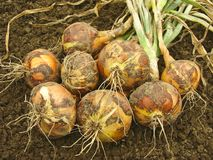 Harvested Onions Stock Photography