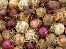 Harvested onions Royalty Free Stock Photography