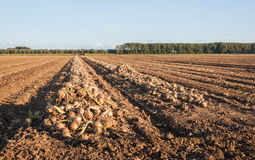 Harvested onions drying in the afternoon sun Stock Images
