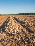 Harvested onions drying in the afternoon sun Royalty Free Stock Photo