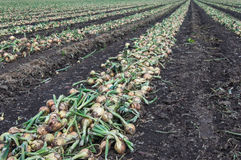 Harvested onions drying in long rows on the field Royalty Free Stock Image