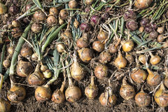 Harvested Onions Stock Images