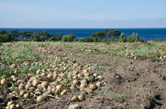 Harvested onions at a field Stock Photography