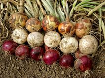 Harvested onions Stock Photos