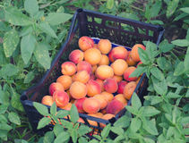 Harvested organic apricots in plastic container on ground Royalty Free Stock Image