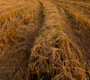 Harvested paddy Stock Photography