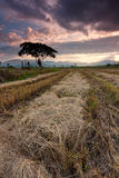 Harvested paddy field at Sabah, East Malaysia, Borneo Royalty Free Stock Photography