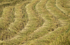 Harvested paddy rice Stock Image