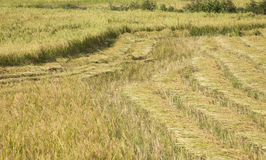 Harvested paddy rice Royalty Free Stock Photography
