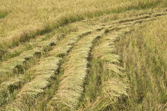 Harvested paddy rice Stock Photography