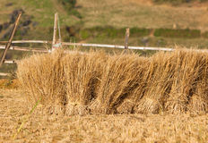 Harvested paddy rice field Stock Photos