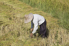 Harvested paddy rice Royalty Free Stock Image