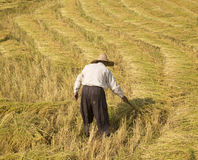 Harvested paddy rice Royalty Free Stock Images