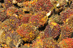 Harvested palm oil fruit bunch Stock Images