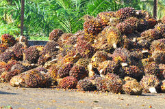 Harvested palm oil fruit bunch Stock Image