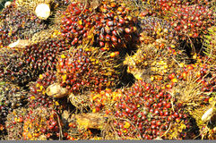 Harvested palm oil fruit bunch Royalty Free Stock Photos