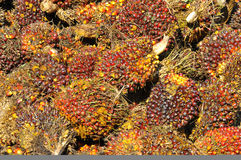 Harvested palm oil fruit bunch Royalty Free Stock Photography