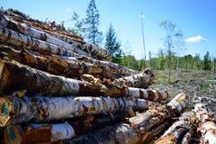 Harvested Paper Birch (Betula papyrifera) Stock Photo
