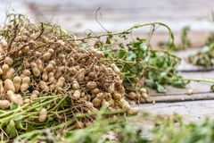 Harvested Peanuts Royalty Free Stock Images