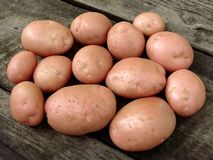 Harvested potato tubers Royalty Free Stock Image