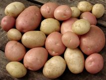 Harvested potato tubers Stock Photos