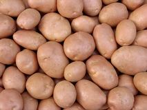 Harvested potato tubers Royalty Free Stock Images