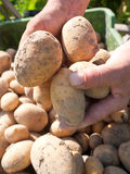 Harvested potatoes Royalty Free Stock Photography
