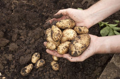 Harvested Potatoes. A person holding freshly harvested potatoes Stock Photo