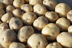 Harvested Potatoes. Many freshly harvested potatoes closeup Royalty Free Stock Photo