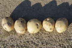 Harvested Potatoes. Many freshly harvested potatoes on the ground Royalty Free Stock Photo