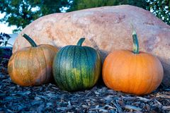 Harvested Pumpkins Stock Images