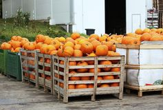 Harvested pumpkins in crates Royalty Free Stock Image
