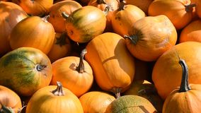 The harvested pumpkins from the farmer`s field are on the heap. stock video