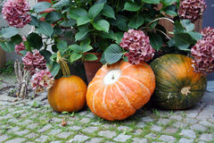 Harvested pumpkins Royalty Free Stock Photos