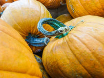 Harvested pumpkins in store Stock Photography