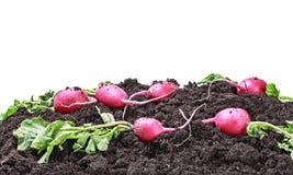 Harvested radish isolated Royalty Free Stock Photo