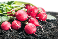 Harvested radish isolated on white Stock Photos