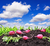 Harvested radishes. On a background of the sky with clouds Royalty Free Stock Photos