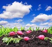 Harvested radishes Royalty Free Stock Photos