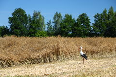 Harvested field and a stork Stock Images