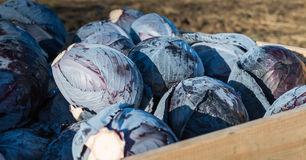 Harvested red cabbages in a wooden crate Royalty Free Stock Photography