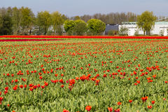 Harvested red tulips on field near village of Lisse in the Netherlands Royalty Free Stock Photography