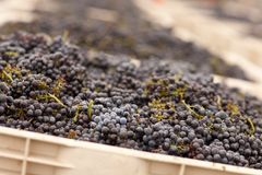Harvested Red Wine Grapes in Crates Royalty Free Stock Photos