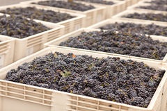 Harvested Red Wine Grapes in Crates Royalty Free Stock Photography