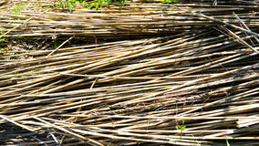 Harvested reed grass. For housebuilding Stock Image