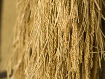 Harvested rice being dried. Royalty Free Stock Image