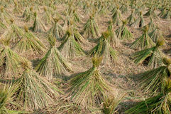 Harvested rice field Stock Photo