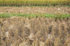Harvested rice field Royalty Free Stock Images