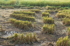 Harvested rice field. In countryside royalty free stock photo