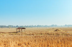 Harvested rice field. Rice field in harvest season with small hut Stock Photography